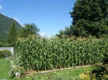 nelson garden seed development